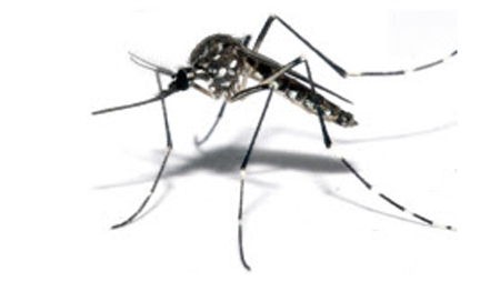 DengueP